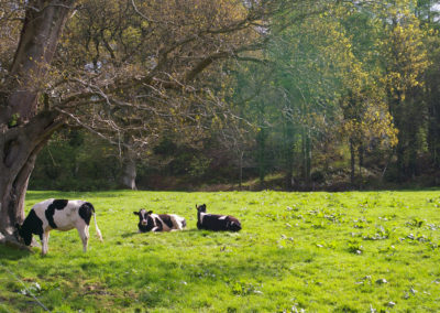 Cows on the grounds of Glenstal Abbey